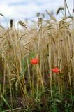 Fiore rosso con grano maturo nel campo Immagini Stock