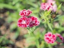 Fiore rosso con il fondo della sfuocatura Fotografie Stock Libere da Diritti