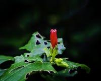 Fiore rosso con la foglia lacerata Fotografia Stock Libera da Diritti