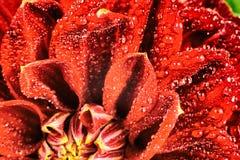 Fiore rosso con le gocce dell'acqua Macro Posto per testo fotografia stock libera da diritti