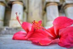 Fiore rosso con polline fotografie stock