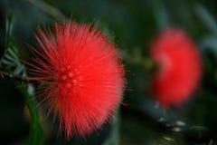 Fiore rosso-cupo Fotografie Stock Libere da Diritti