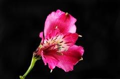 Fiore rosso-cupo di Alstroemeria contro il nero Immagine Stock