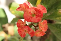 Fiore rosso dal giardino immagine stock libera da diritti