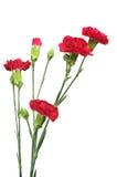 Fiore rosso dei chiodi di garofano Immagini Stock
