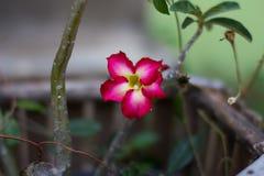 Fiore rosso del adenium del giglio di impala o della rosa del deserto Fotografia Stock