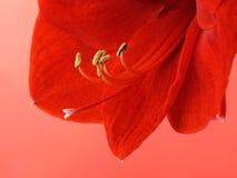 Fiore rosso del amaryllis Fotografie Stock