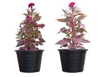Fiore rosso del bucero o della cresta di gallo in vaso di plastica nero isolato su fondo bianco fotografia stock libera da diritti