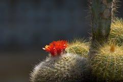 Fiore rosso del cactus Fotografie Stock