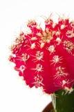 Fiore rosso del cactus Fotografia Stock