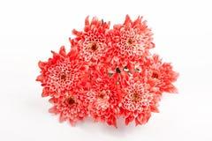 Fiore rosso del crisantemo Fotografia Stock Libera da Diritti