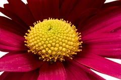 Fiore rosso del crisantemo Fotografie Stock