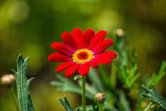 Fiore rosso del crisantemo nel fondo verde fotografie stock