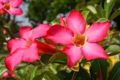Fiore rosso del deserto Fotografie Stock Libere da Diritti