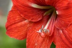 Fiore rosso del fiore del giglio Fotografia Stock Libera da Diritti