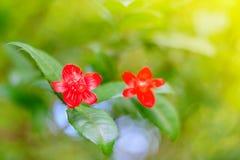 fiore rosso del fuoco selettivo nell'ambito di sole, bokeh della sfuocatura fotografia stock