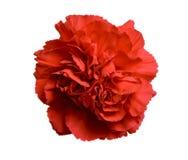 Fiore rosso del garofano Immagine Stock Libera da Diritti
