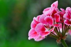 Fiore rosso del geranio Fotografia Stock