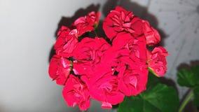 Fiore rosso del geranio Immagini Stock Libere da Diritti