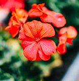 Fiore rosso del geranio con le piccole goccioline di acqua fotografia stock libera da diritti