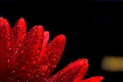 Fiore rosso del gerber immagini stock libere da diritti