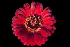 Fiore rosso del gerbera Immagine Stock