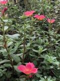 Fiore rosso del giardino Fotografia Stock Libera da Diritti