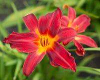 Fiore rosso del giglio Fotografia Stock Libera da Diritti