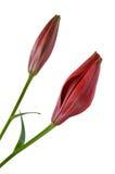 Fiore rosso del giglio isolato Immagini Stock