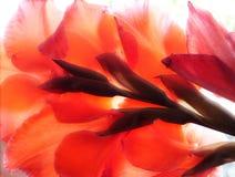 Fiore rosso del gladiolus Fotografie Stock