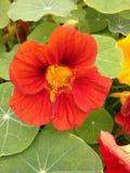 Fiore rosso del nasturzio Immagine Stock Libera da Diritti