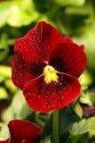 Fiore rosso del pansy Fotografia Stock Libera da Diritti