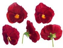Fiore rosso del pansy dai lati differenti Fotografia Stock