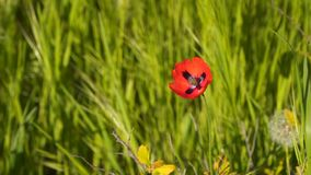 Fiore rosso del papavero