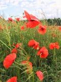 Fiore rosso del papavero Fotografie Stock