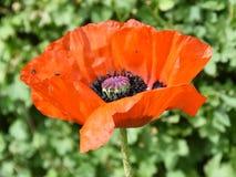 Fiore rosso del papavero dentro il primo piano Fotografie Stock