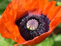 Fiore rosso del papavero dentro il primo piano Immagine Stock