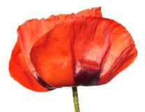 fiore rosso del papavero isolato su fondo bianco Fotografia Stock