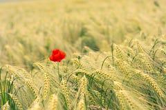 Fiore rosso del papavero nel giacimento di grano Immagini Stock