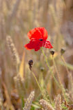 Fiore rosso del papavero nel giacimento di grano maturo Sguardo piano Fotografia Stock