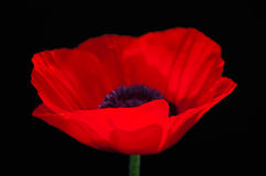 Fiore rosso del papavero su fondo confuso scuro Immagini Stock Libere da Diritti
