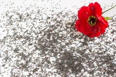 Fiore rosso del papavero sui grani del papavero Immagine Stock Libera da Diritti