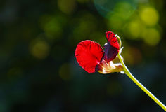 Fiore rosso del pisello di sirantro Immagini Stock Libere da Diritti