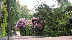 Fiore rosso del rododendro stock footage