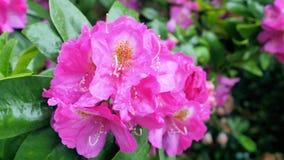 Fiore rosso del rododendro archivi video