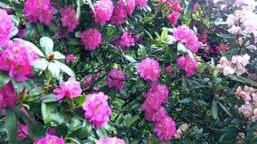 Fiore rosso del rododendro Il movimento della macchina fotografica permette di vedere il fiore da tutti i lati del fiore video d archivio