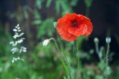 Fiore rosso del seme di papavero isolato in giardino immagine stock libera da diritti