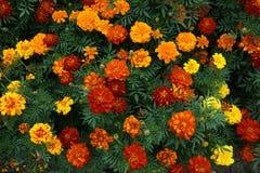 Fiore rosso del tagete dell'oro Fotografia Stock