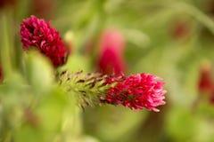 Fiore rosso del trifoglio Immagine Stock Libera da Diritti