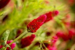 Fiore rosso del trifoglio Immagini Stock Libere da Diritti